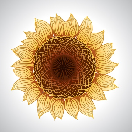 sunflower isolated: Vector de girasol aislado Vectores