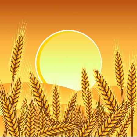 Fondo con espigas de trigo maduro amarillo, ilustración vectorial