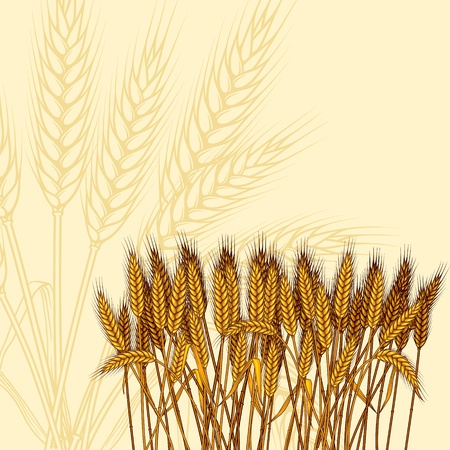 wheat illustration: Sfondo con mature spighe di grano giallo, illustrazione vettoriale