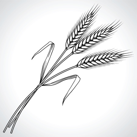 grain fields: Ripe black wheat ears isolated illustration
