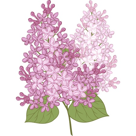 flowers of lilac  Illustration for your design  Vector