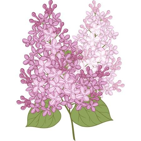 flores de color lila Ilustración para su diseño