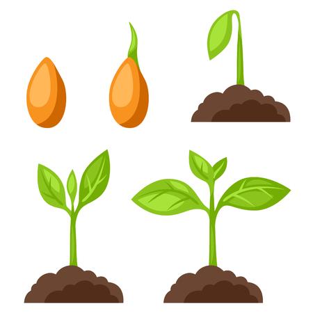germinación: Conjunto de ilustraciones con el crecimiento de las fases de la planta. Imagen de banners, páginas web, diseños.