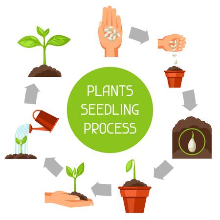 crecimiento planta: infografía de plántulas con las fases de crecimiento de las plantas. Imagen de folletos publicitarios, banners, desolladores y artículos. Vectores