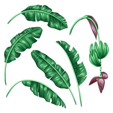 frutas tropicales: Conjunto de hojas de plátano estilizada. imagen decorativa con follaje tropical, flores y frutos. Objetos de decoración, diseño de folletos publicitarios, banners, desolladores.