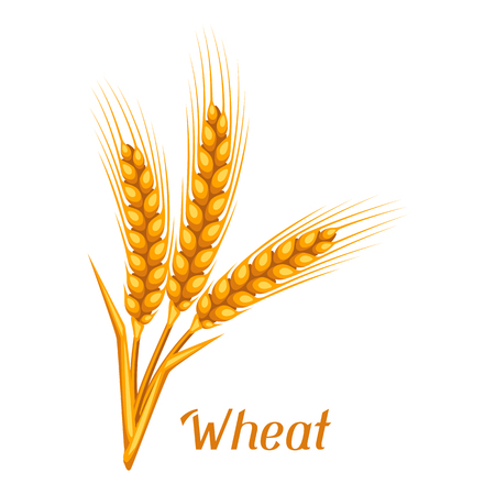 rye: Bunch of wheat, barley or rye ears. Agricultural image for decoration bread packaging, beer labels, brochures and advertising booklets.
