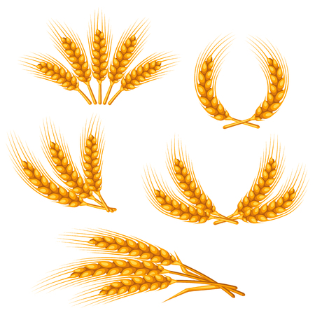 Design elements with wheat. Agricultural image natural golden ears of barley or rye. Objects for decoration bread packaging, beer labels. Vettoriali