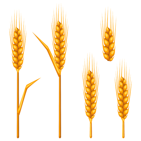 rye: Ears of wheat, barley or rye. Agricultural image for decoration bread packaging, beer labels, brochures and advertising booklets.