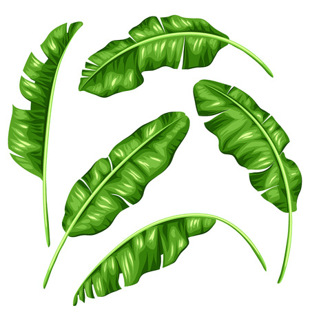 foliages: Banana leaves set. Image of decorative tropical foliage.