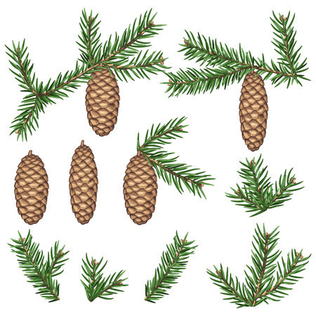 fir cones: Set of fir branches and cones. Detailed vintage illustration.