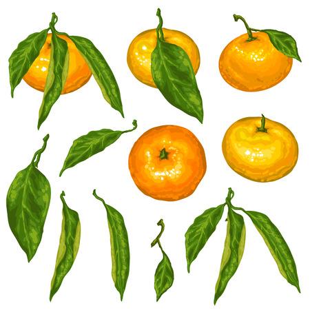 Set van mandarijnen. Tropisch fruit en bladeren.