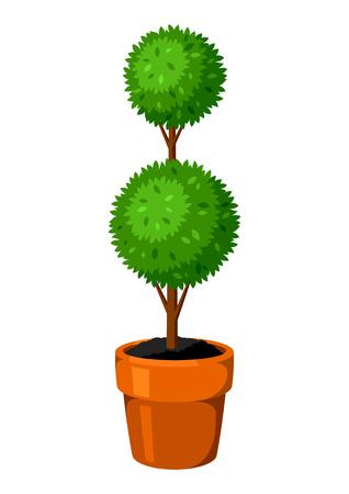 topiary: Boxwood topiary garden plant. Decorative tree in flowerpot