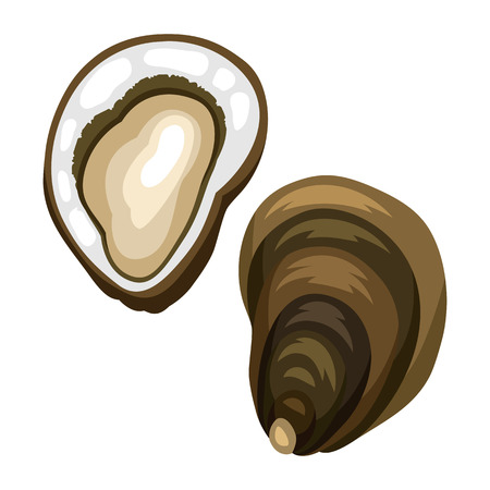 Fresh opened oyster. Isolated illustration of seafood on white background