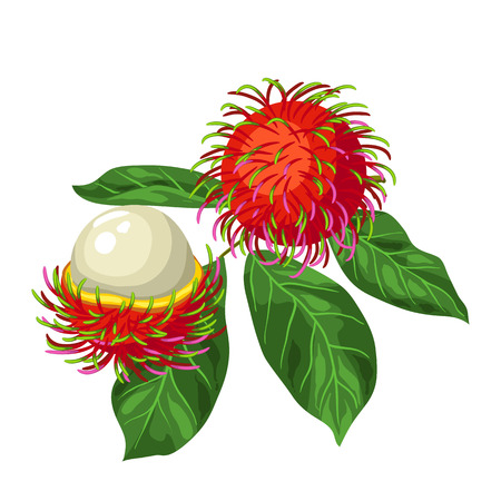 Rambutan isolated on white background. Illustration of tropical plant.