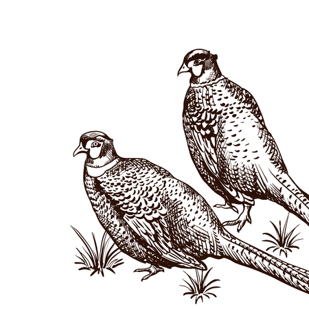 Background with pheasants. Antique engraving illustration with birds.