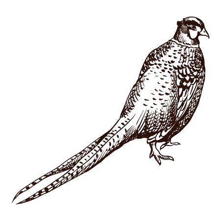 Antique engraving pheasant illustration. Abstract hand drawn bird. Illustration