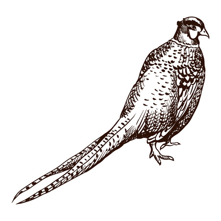 Antique engraving pheasant illustration. Abstract hand drawn bird. Иллюстрация