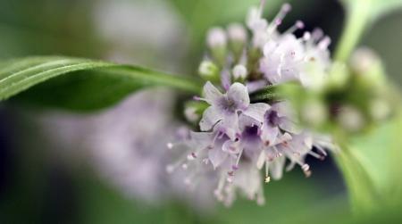 arvensis: Macro shot of mint flowers