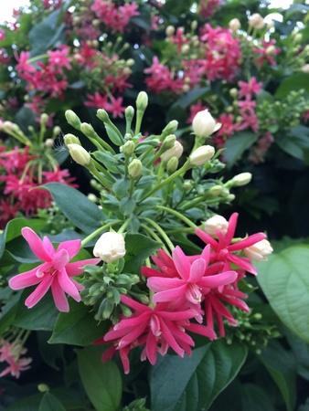 plantae: Rangoon creeper