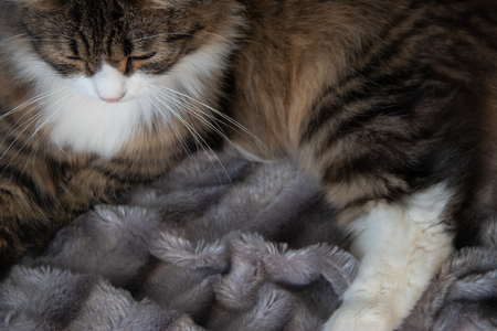 Portrait of fluffy sweet serious tabby cat with white dickey looking down on the silver gray fluffy faux fur blanket background