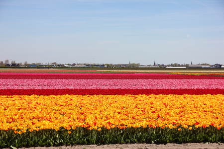 Endless striped colorful field of yellow, red and pink beautiful tulips. Spring time in Keukenhof flower garden, Netherlands, Holland. Little houses in small village in the distance