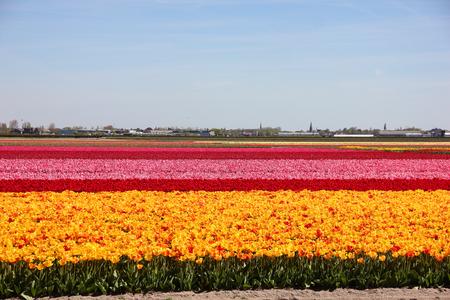 Niekończące się pasiaste kolorowe pole pięknych żółtych, czerwonych i różowych tulipanów. Wiosna w ogrodzie kwiatowym Keukenhof, Holandia, Holandia. Małe domy w małej wiosce w oddali