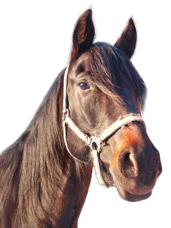 paardenhoofd: Portret van een kastanje paard met een witte achtergrond, geïsoleerd