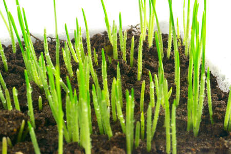The young green shoots of oats on a white background