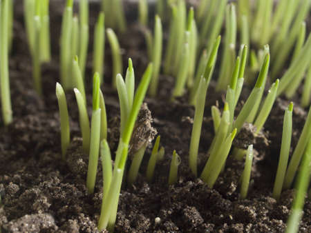 magnified: The young green shoots of oats gets out of the ground