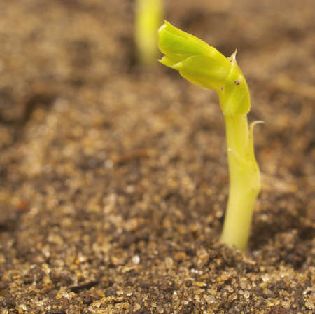 Young pea sprout
