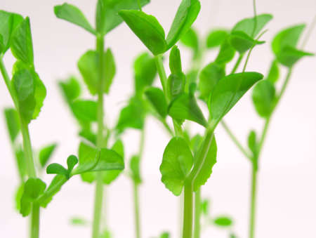 Young shoots of peas on white background Stock Photo