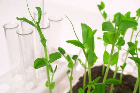 Young pea shoots on a white background with tubes Stock Photo