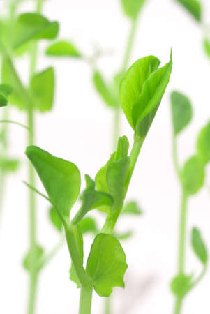 Green shoots of peas in the laboratory on a white background
