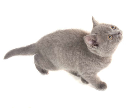 Grey kitten on white background isolated