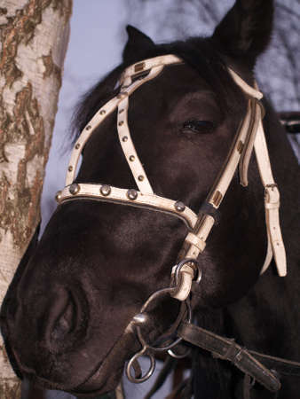 Head of a black horse with a white bridle closeup Stock Photo