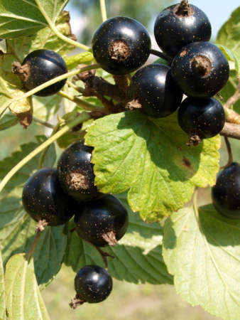 A branch of a black currant with berries close up