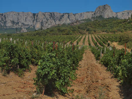 Vineyards on a background of mountains in Crimea  Ukraine  Stock Photo