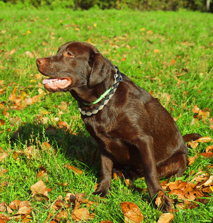 Dog breed chocolate labrodor sitting on the lawn