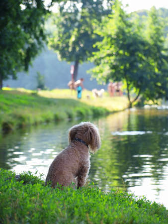 Poodle sitting on the bank of a pond Stock Photo