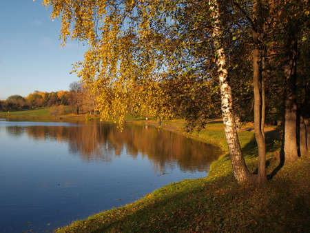 Yellowing birch on the bank of the pond fall
