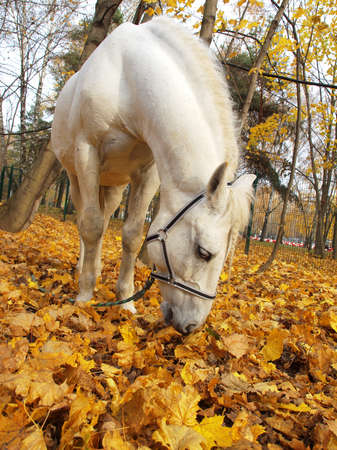 colorado rocky mountains: White horse in the autumn forest on a yellow foliage     Stock Photo