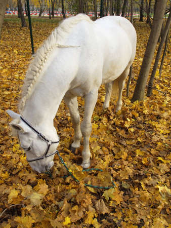 colorado rocky mountains: White horse in the autumn forest on a yellow foliage