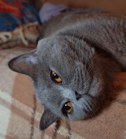 Relaxing on the couch gray cat lying