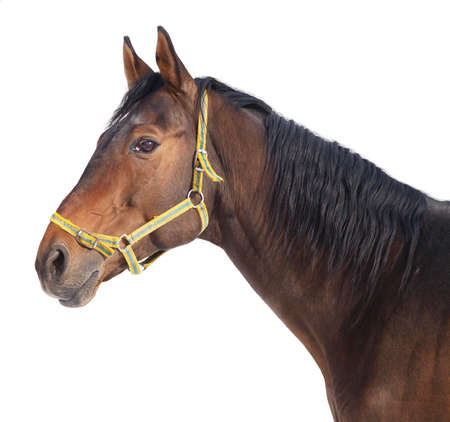 Head of bay horse on a white background Stock Photo