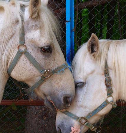 Two white horses Stock Photo - 18729707