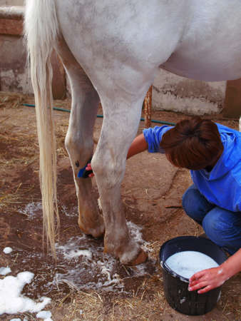 The girl washes the gray horse legs and tail with soap