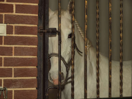 Gray thoroughbred horse in a stall behind bars    Stock Photo
