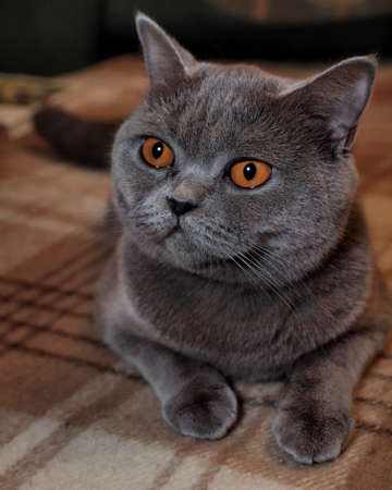 Scottish cat lies on a wool rug        photo