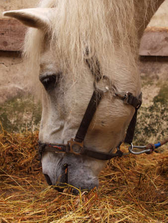 Gray horse eat hay on a leash Stock Photo
