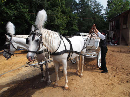 Man harness horses in the carriage
